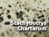 Stachybotrys-Chartarum-MOULD